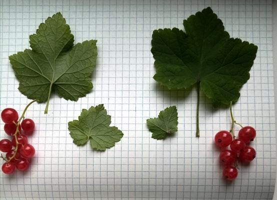 botanicheskij-razbor-krasnoj-smorodiny