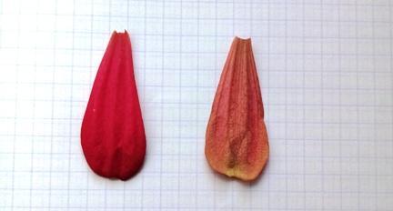 botanicheskij-razbor-cvetka-cinnii